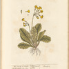 The cowslip or paigle