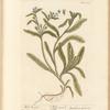 Wild bugloss