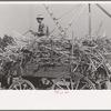 Farmer atop load of sugarcane, New Roads, Louisiana.