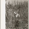 Cutting sugarcane near New Iberia, Louisiana.