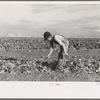 Young boy beet worker, near Fisher, Minnesota