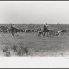 Cutting out calves for branding from the herd. Cattle ranch near Spur, Texas.