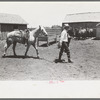 Cowboy leading horse which he has just saddled. Cattle ranch near Spur, Texas.