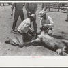 Sawing off horns of calf. Ranch near Spur, Texas.