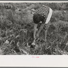 Spanish-American FSA client pulling onion from her garden, Taos County, N.M.