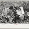 Spanish-American FSA client examining cauliflower in her garden to see if it is ready for picking, Taos County, New Mexico.