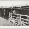 Separating the kids from the goats at shearing pen. Junction, Kimble County, Texas