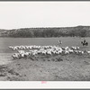 Ranchman driving in goats from the range for shearing. Kimble County, Texas