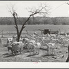 Shorn goats on ranch in Kimble County, Texas