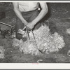 Tying feet of goat with leather strap before shearing. Kimble County, Texas