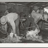 Shearing goats on ranch in Kimble County, Texas