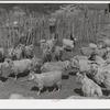 Goats in pen before shearing. Ranch in Kimble County, Texas