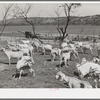 Freshly sheared goats on ranch in Kimble County, Texas