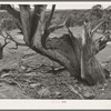 Twisted mountain juniper. Apache County, Arizona