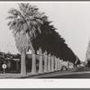 Avenue of palms line the residential streets of Phoenix, Arizona