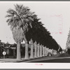 Avenue of palms line the residential streets of Phoenix, Arizona