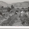 Young people from Logan picking berries for farmer in Cache County, Utah. There is no migrant labor used or needed in this section