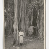 One of the huge Banyan trees in the Parade Gardens, Kingston, Jamaica