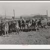 Herd of dairy cows. Box Elder County, Utah