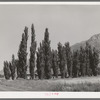 Lombardy poplars. Box Elder County, Utah