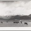 Cows in pasture, the snow-covered Uinta Mountains in the background. Heber, Utah