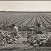 Yuma County, Arizona. Sorting and grading lettuce in the field