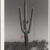 Saguaro cactus in the desert. Yuma County, Arizona