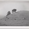 San Benito County, California. Cattle grazing in the foothills