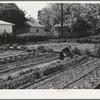 Turlock, California. Housewife working in her vegetable garden