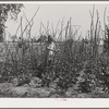 Daughter of agricultural worker in her family's garden at the FSA (Farm Security Administration) farm workers community. Yuba City, California