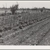 Garden of agricultural worker living at the FSA (Farm Security Administration) farm workers community. Yuba City, California