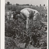 Mrs. Zenith Prothero weeds her tomato plants at the FSA (Farm Security Administration) farm workers community. Yuba City, California