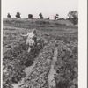 Children working in garden at the FSA (Farm Security Administration) farm workers community. Yuba City, California. Each family has its own garden