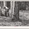 """Grant County, Oregon. Malheur National Forest. """"Rubberman"""" in operation when lumberjack who is sawing down a tree does not have a partner"""