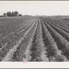 Rupert, Idaho (vicinity). Potato field