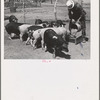 Mr. Bosley of the Bosley reorganization unit feeding his hogs on his farm in Baca County, Colorado