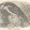 Ospray--Pandion haliaetus, page 152, [Detail]