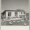 Feeding the chickens. Fairbury Farmsteads, Nebraska.