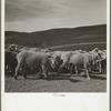 Newly-shorn sheep. Oneida County, Idaho.