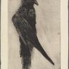 Le grand corbeau pendu