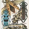 1. Batocera Hector, Java; 2. Callichroma suturalis, Guyane; 3. Steirastoma lacerta, Brésil; 4. Rosalia alpina, Europe; 5. Batocera Wallacei, Nouvelle Guinée