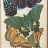 1. Amesis sanguiflua, Inde; 2. Amesis sanguiflua, Inde; 3. Teinopalpus imperialis, Sikkim; 4. Cethosia biblis, Inde; 5. Teinopalpus imperialis, Sikkim
