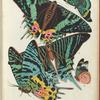 1. Chrysiridia ripheus, Madagascar; 2. Chrysiridia ripheus, Madagascar; 3. Urania leilus, Guyane; 4. Panacea prola zaraja, Venezuela; 5. Panacea prola zaraja, Venezuela;