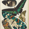1. Euploea rhadamanthus, Inde; 2. Troides brookeana, Borneo; 3. Erasmia pulchella, Sikkim; 4. Papilio antiphates, Inde; 5. Pyrameis myrinna, Equateur