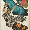 1. Callicore marchali, Colombie; 2. Papilio pylades, Congo; 3. Papilio zalmoxis, Congo; 4. Hestia lynceus, Malaisie; 5. Stalachtis phlegetonia, Bresil
