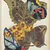 1. Delias harpalyce, Australie; 2. Morpho deidamia, Guyane; 3. Anteros bracteata, Guyane; 4. Opoptera aorsa, Bresil; 5. Zeonia amazon, Perou