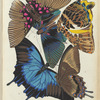 1. Lyropterix apollonia, Colombie; 2. Lyropterix apollonia, Colombie; 3. Prothoe Calydonia, Malacca; 4. Papilio ulysses-telegonus, Batjan; 5. Papilio ulysses-telegonus, Batjan
