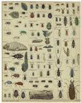 [Beetles.]