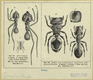 Atta texana ; Cryptocerus angulosus.