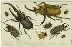 Gigantic Beetle (Female), Hercules Beetle, Shining Beetle, Macleay'S Beetle, Prodigal Beetle, Elephant Beetle, Fiery Beetle, Clubbed Beetle, Gigantic Beetle (Male).
